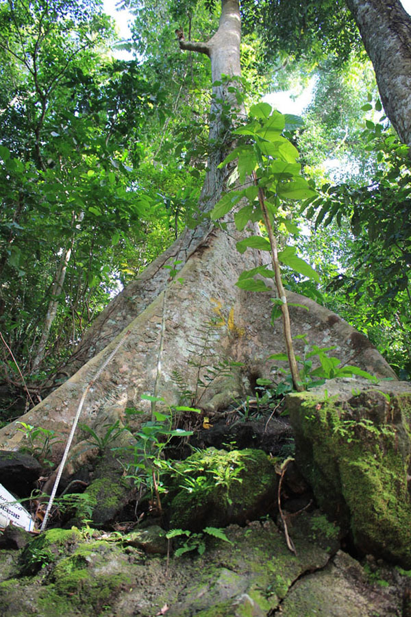 Malabanban Spring - Dao Tree